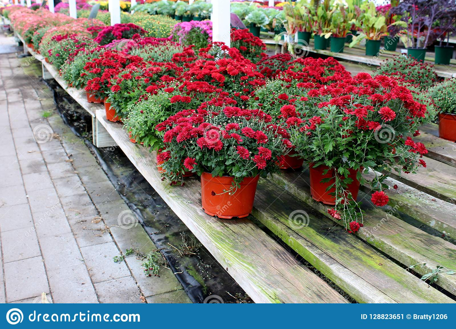 Long Wood Shelves With Bright And Colorful Hardy Mums And