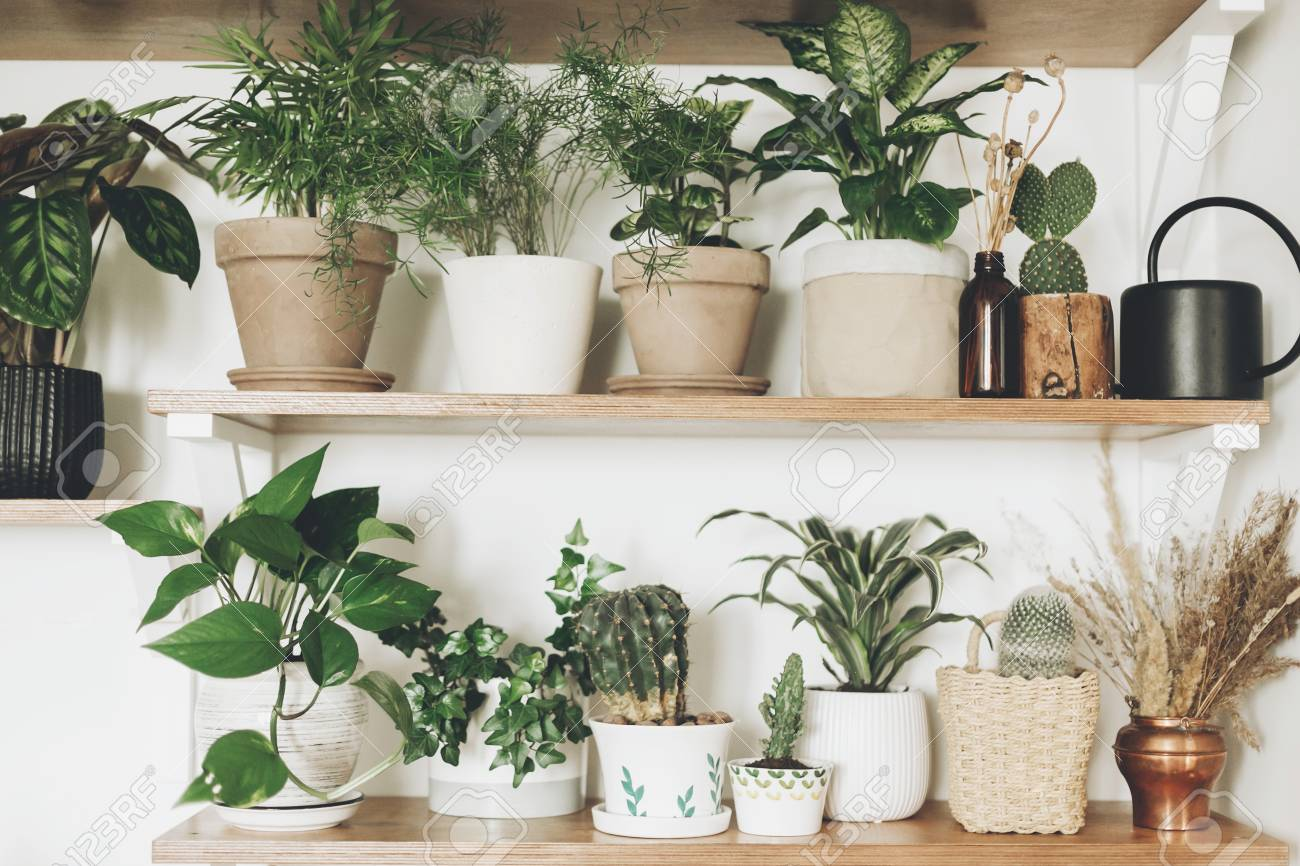 Stylish Green Plants And Black Watering Can On Wooden Shelves